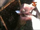 Набираем пчёл и подсаживаем матку